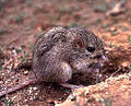 Desert pocket mouse.jpg