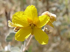 Senna covesii - Desert Senna flower, Water Ranch Riparian Preserve, Gilbert, Arizona.