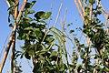 Detall de tavella verda de fesol de l'ull ros de mata alta.jpg