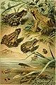 Deutschlands Amphibien und Reptilien. Eine Beschreibung und Schilderung sämmtlicher in Deutschland und den angrenzenden Gebietan vrokommenden Lurche und Kreichthiere (1897) (20701802709).jpg