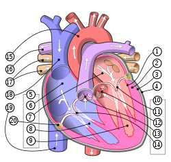 Diagram of the human heart (multilingual 2).svg
