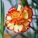 Dianthus caryophullus kz1