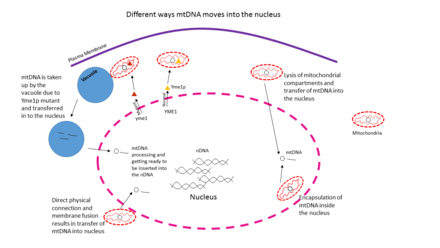 Different ways mtDNA moves into the nucleus