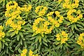 Dingli - Triq Panoramika - Cliffs - Euphorbia dendroides 09 ies.jpg
