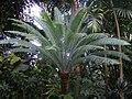 Dioon sp, Kew Gardens (Steve Parker).jpg
