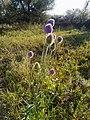 Dipsacus gmelinii 90592680.jpg