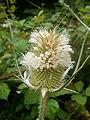 Dipsacus laciniatus Tutin 3.JPG