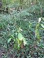 Dipsacus pilosus plant (07).jpg
