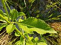 Dipsacus strigosus sl2.jpg
