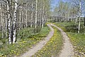 Dirt road and dandelions through an aspen grove at High Country Ranch (22941442076).jpg