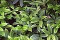 Disporopsis omeiensis in Christchurch Botanic Gardens 03.jpg