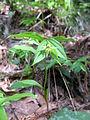 Disporum smilacinum 12.JPG