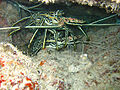 Diving Maldives, 2009 - Lobsters.jpg