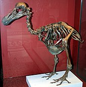 Brown, mounted dodo skeleton