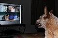 Dog tv.jpg