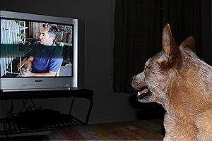 English: Dog watching tv