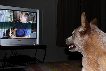 English: Dog watching tv
