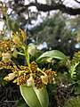 Dollar Orchid at Vizcaya Museum and Gardens close up.jpg