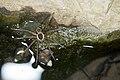 Dolomedes raptor (43513206022).jpg