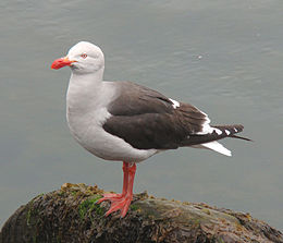 Dolphin Gull - Leucophaeus scoresbii on rock.jpg