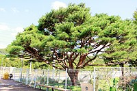 Donghwa Station Pine Tree.jpg
