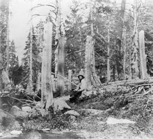 """Stumps of trees cut by the Donner Party ..."
