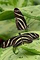 Double longwing (13901349710).jpg