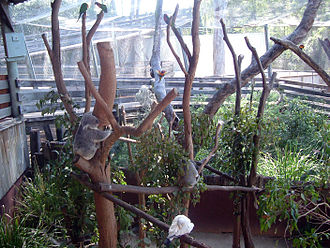 Dreamworld Corroboree - Koalas at Dreamworld's Koala Country.