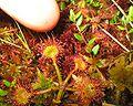 Drosera-rotundifolia(sticky).jpg