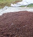 Drying of pine nuts.jpg