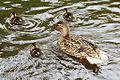 Duck and ducklings (8754923280).jpg