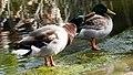 Duck shaking dry (24149988027).jpg