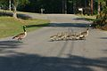 Ducks Crossing Road.jpg