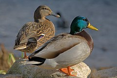 Ducks in plymouth, massachusetts.jpg