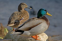 Ducks in plymouth, massachusetts