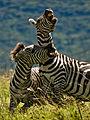 Dueling zebras.jpg