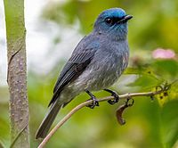 Dull-blue flycatcher.jpg
