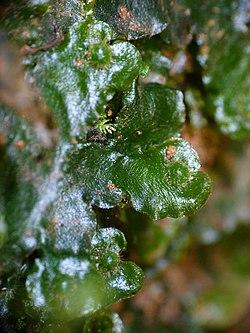 Dumortiera hirsuta female thallus 1c.jpg