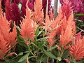 Dwarf Celosia from Lalbagh flower show Aug 2013 8082.JPG