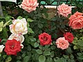 Dwarf Rose from Lalbagh flower show Aug 2013 8504.JPG