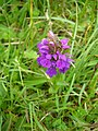 Early Purple Orchid - geograph.org.uk - 464608.jpg
