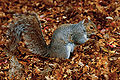 Eastern Grey Squirrel Beacon Hill Park.jpg