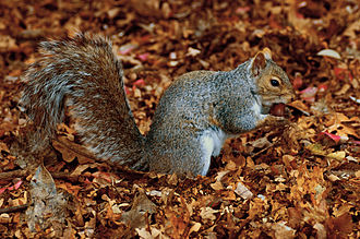 The Life of Mammals - The eastern gray squirrel (Sciurus carolinensis) eats acorns of one species and stores the other more toxic (and thus longer keeping) species for winter.