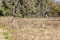 Eastern gray kangaroos on Gateway Island (1).jpg