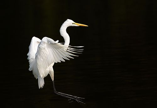 Eastern great egret landing at Tennōji Park in Osaka, November 2016 - 066.jpg