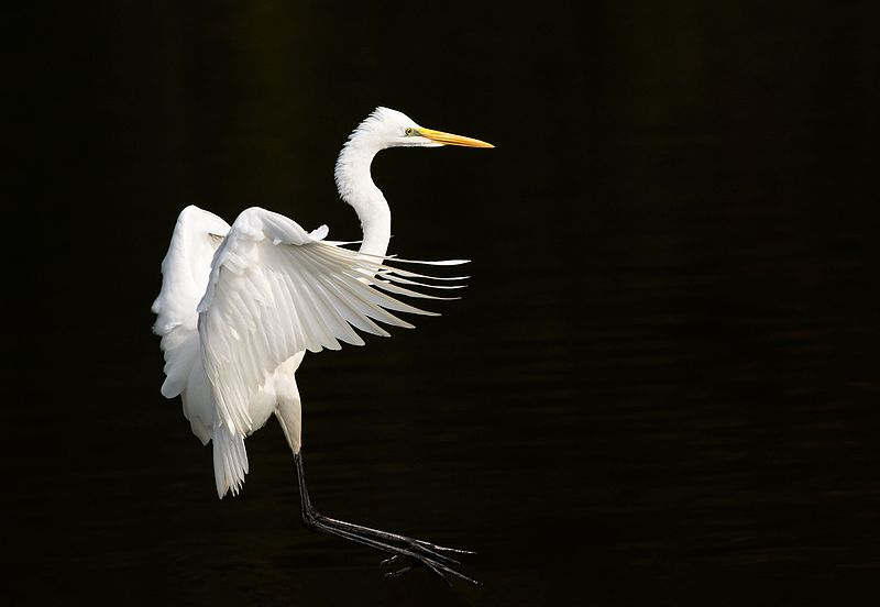 پرونده:Eastern great egret landing at Tennōji Park in Osaka, November 2016 - 066.jpg