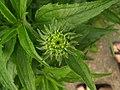 EchinaceaUnfurls.jpg