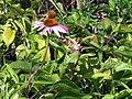 Echinacea purpurea Bright Star 1zz.jpg