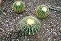 Echinocactus grusonii 5zz.jpg