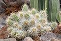 Echinocereus conglomeratus (aka).jpg